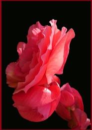 RED/PINK BEGONIA