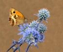 Gatekeeper on Blue Thistle 2 by pamelajean