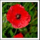 Red Poppy by Maiwand