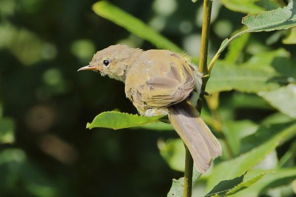 Sedge warbler by colin beeley