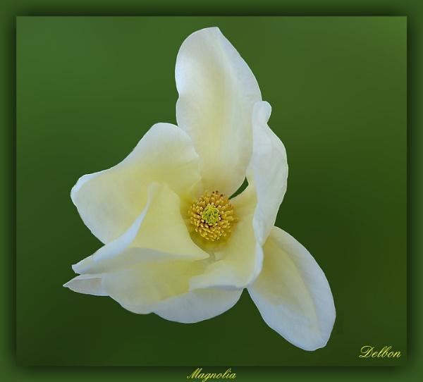 The Magnolia by Delbon
