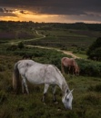 New Forest Ponies by SWMahy