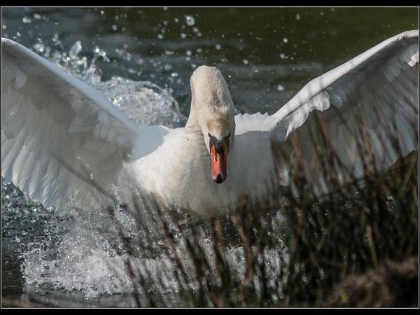 Angry Swan by Otinkyad
