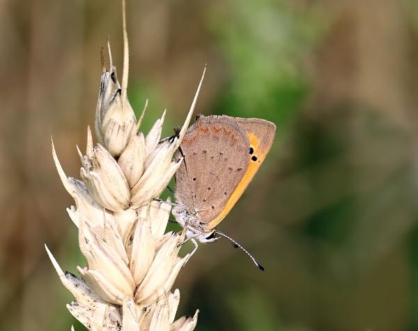 Small Copper by bluetitblue