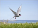 Tern on the Lookout! by Lillian