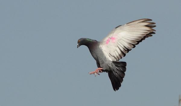 Dove by prabhuv