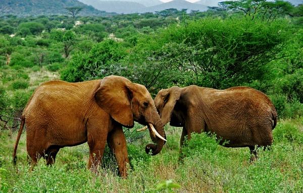 Samburu elephants ... by JuBarney