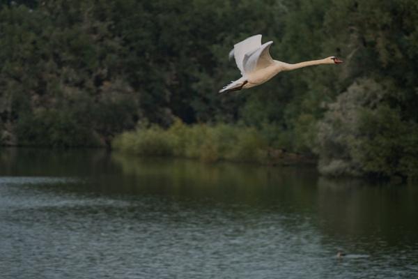 Swan in flight by celtxian