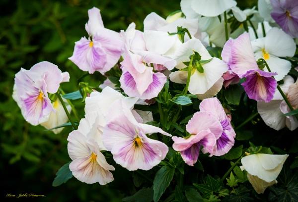 Violets. by Jukka