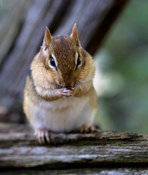 Chipmunk, Let us Pray.. by banehawi