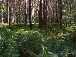 norfolk forest