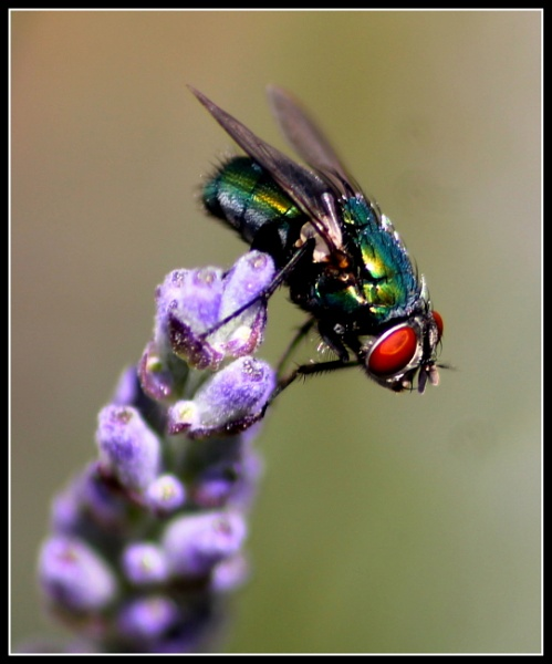 Fly on Lavender by BONKERS4CONKERS
