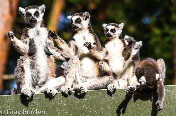 Dancing Lemurs by Graysshootin