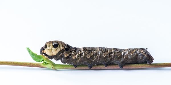 Elephant Hawk Moth Caterpillar by flowerpower59