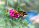 Zinnia Hosting the Monarch by taggart