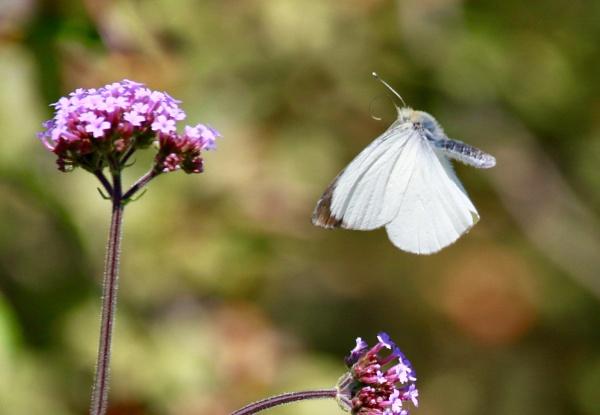 Butterfly by Lencollard
