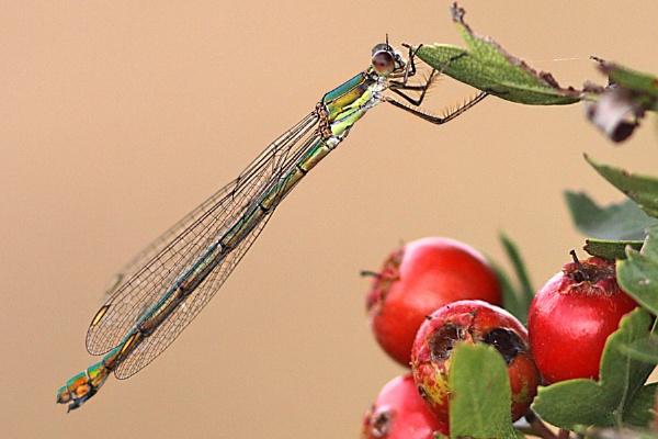 Emerald Damselfly-Lestes sponsa by bobpaige1