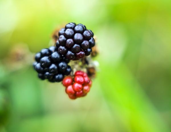 Blackberries by Madoldie