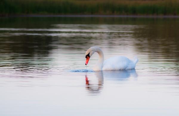 Swan by Nino812