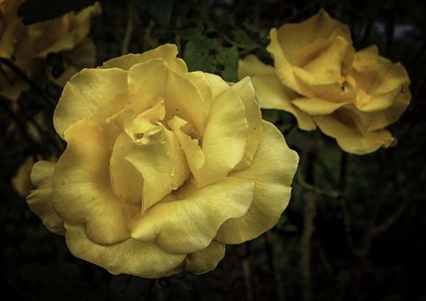 A yellow rose by BillRookery