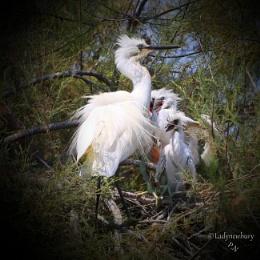 Egret family.