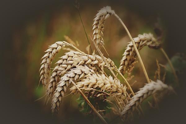 Harvest by kaylo