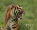 Tiger by KBan