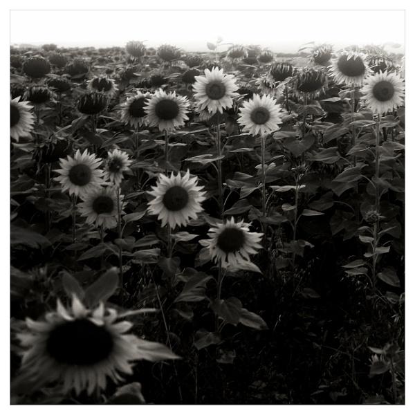 sunflowers by bliba