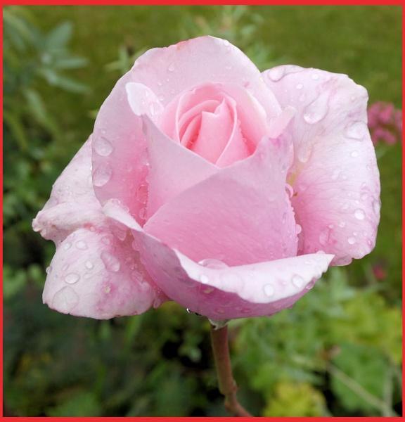 ** Morning Rain Rose ** by Rock