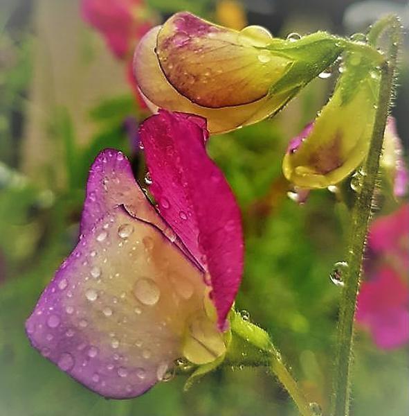 Wet Sweet Pea