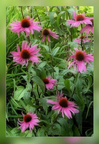 Echinacea by Joline
