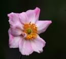Japanese Anemone by viscostatic