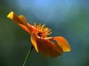 Californian Poppy by viscostatic