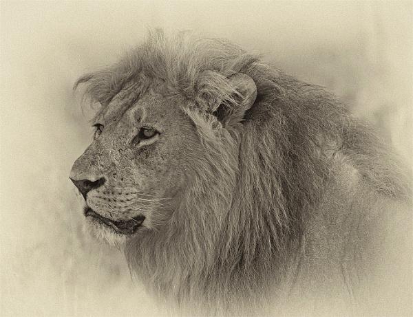 Lion. by JeanE