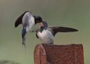 Swallows Feeding Young by NeilSchofield