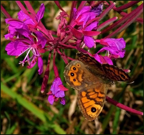 Wall Brown-Lasiommata megera. by Badgerfred