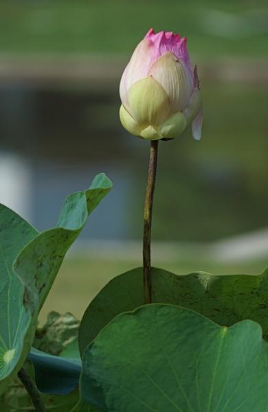 Lotus Bud by Silverzone