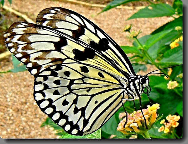 The Paper Kite Butterfly by Delbon