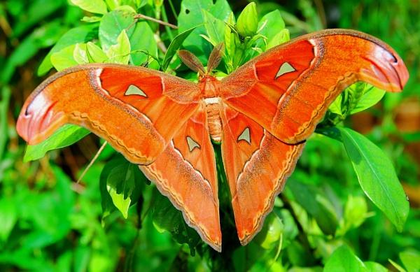 The Atlas Moth by Delbon