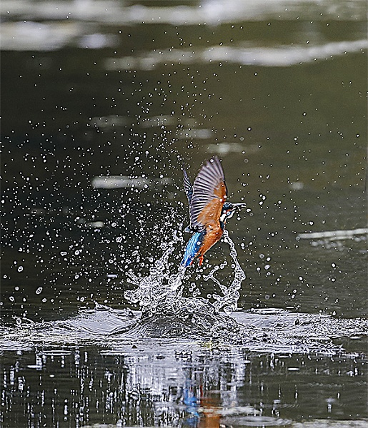 Kingfisher by shaver