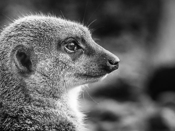 Meerkat by JFitz