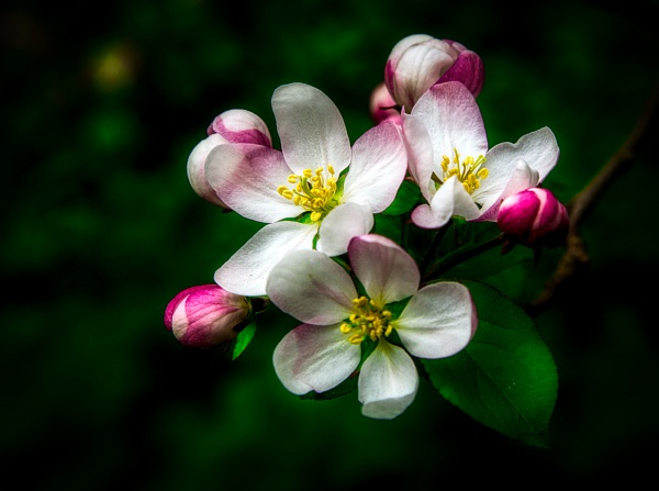 Apple Blossom by Swhitfield