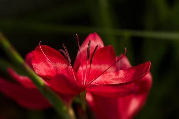 Kaffir Lily close up by CaroleS