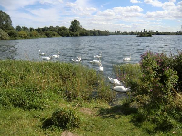 Swan Uping by Gypsyman
