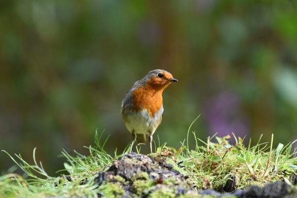 Robin by ShaunsPics