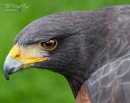 Harris Hawk by MartinWait