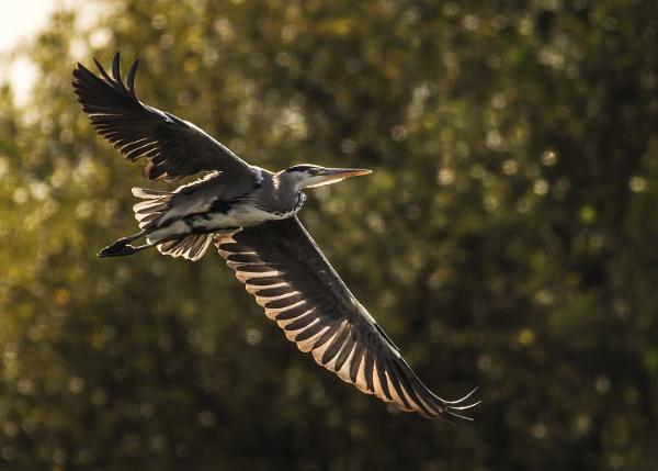 Heron In Flight by BydoR9