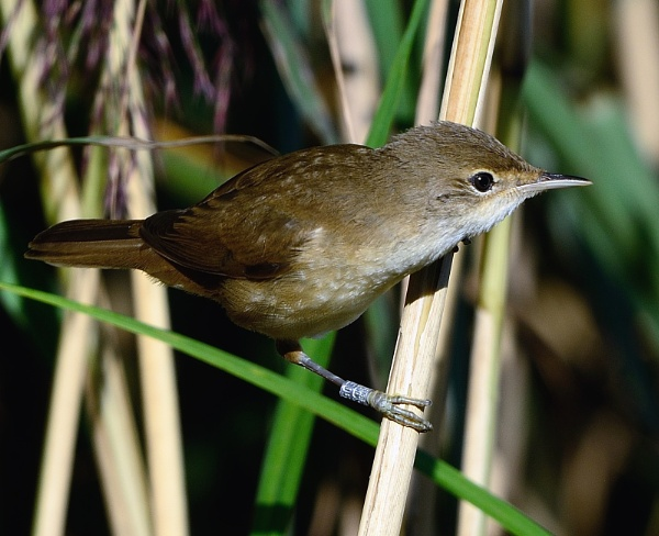 Savi\'s Warbler by movingmountain