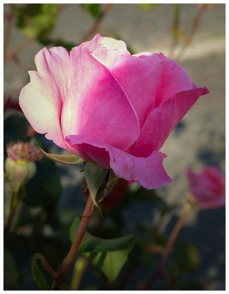Pink Rose by Nikonuser1