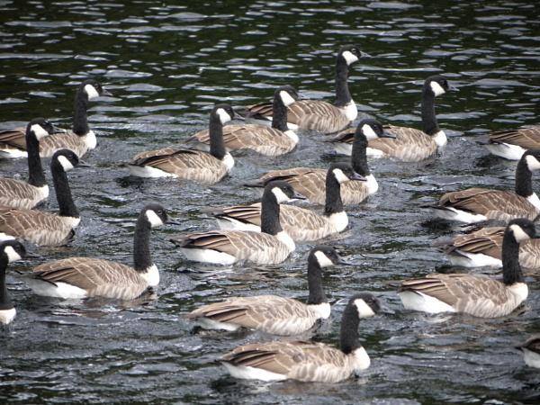 Canada geese by DerekHollis